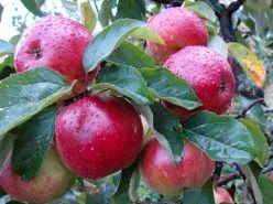 Яблони сорта «Антей» являются зимними
